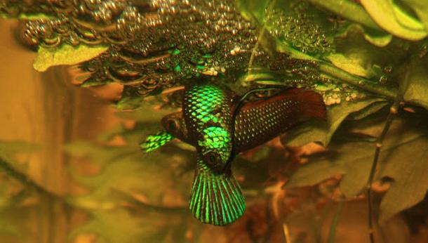 Sacramento Aquarium Society Spawning Report Betta Stiktos