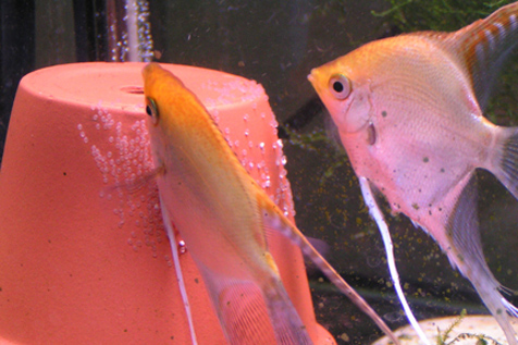 Angelfish eggs hatching time