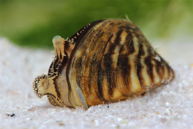 Zebra Mussel Photo By Vitalii Hulai